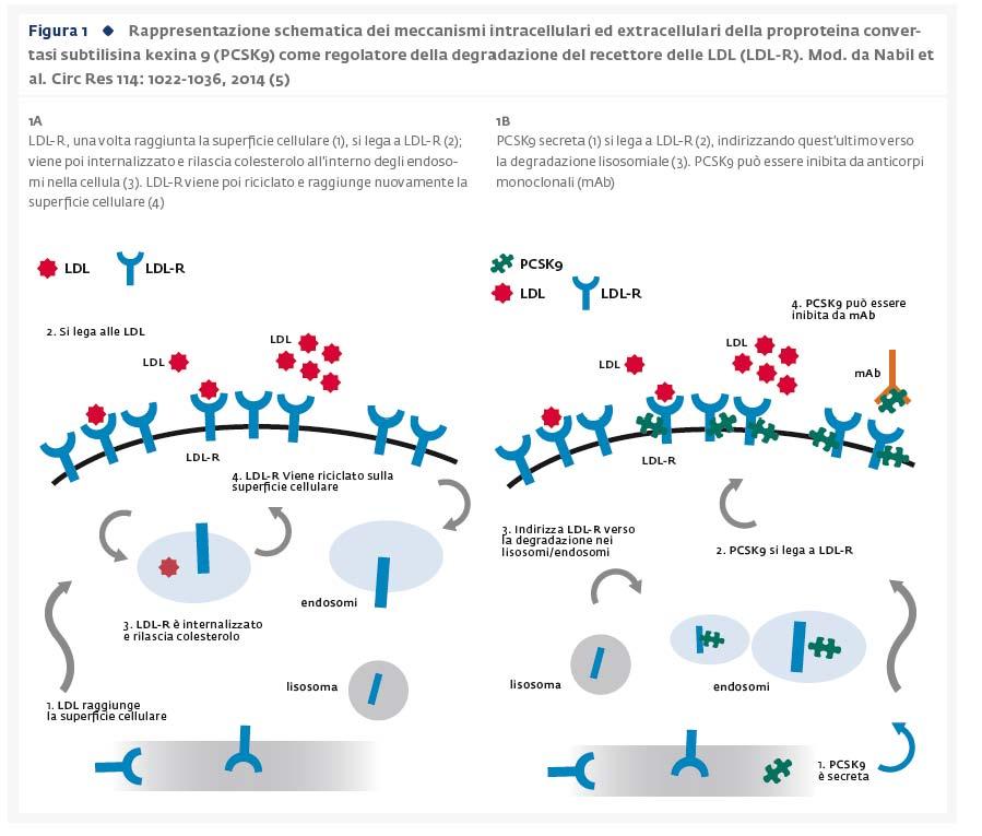 PCSK9: dalla scoperta al farmaco