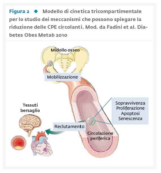 L'impatto del diabete sui meccanismi  di rigenerazione vascolare