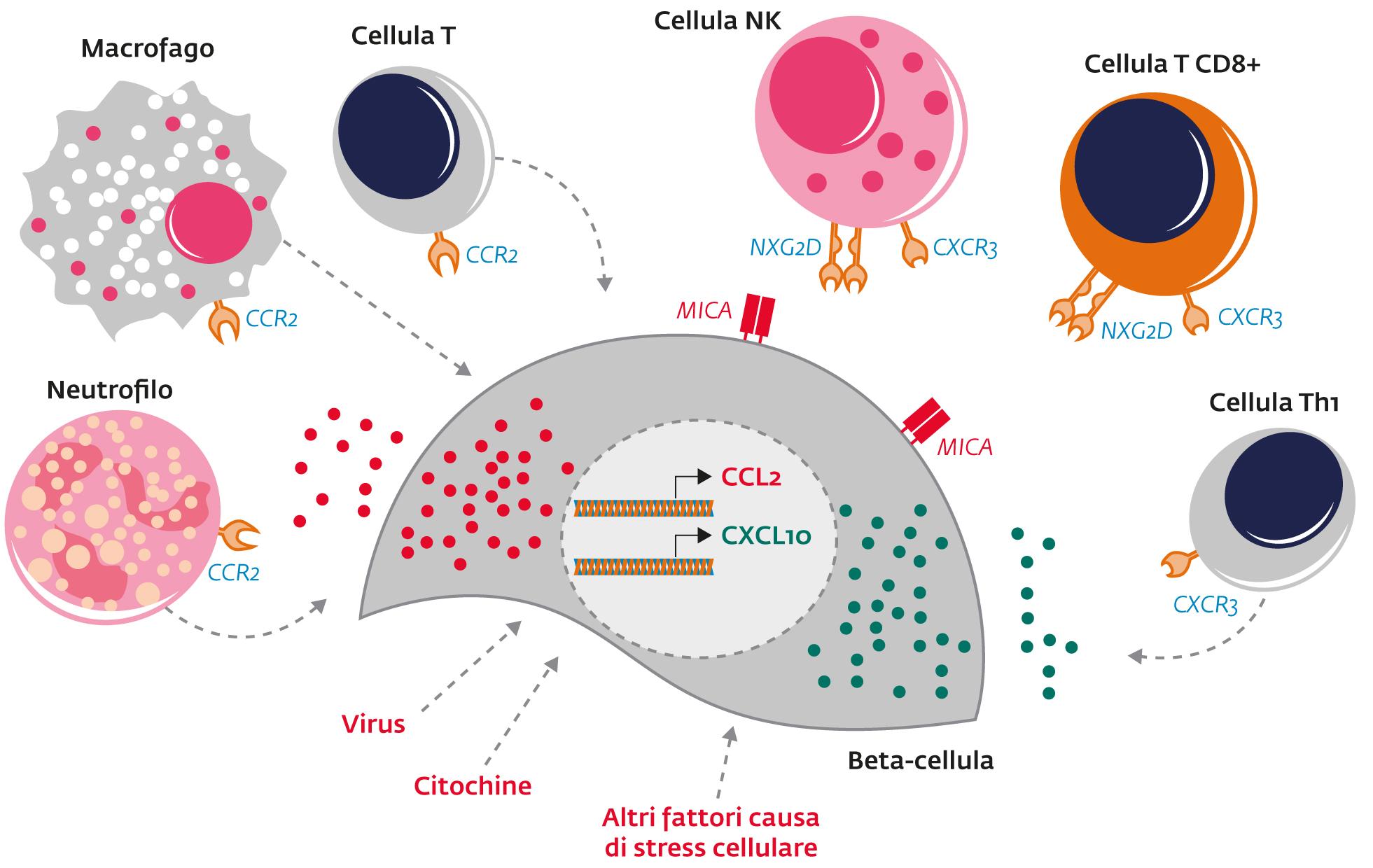L'isola pancreatica nel diabete tipo 1  Meccanismi di regolazione morfo-funzionali della cellula beta