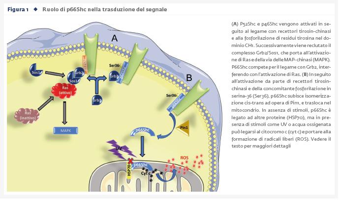 Tra longevità e metabolismo: il ruolo di p66Shc determinato in modelli sperimentali
